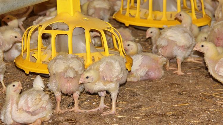 csirke, állattenyésztés, mezőgazdaság