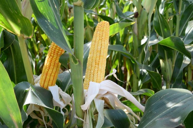 kukorica cső levél mag
