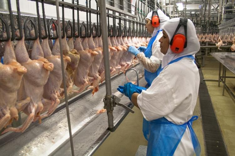 brazil csirke vagohid