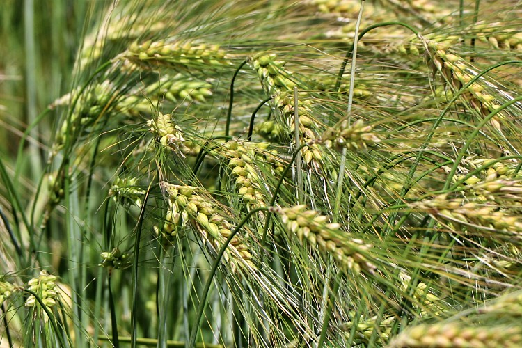 Mezőgazdaság, vetőmag