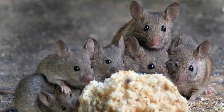 egerek kenyér