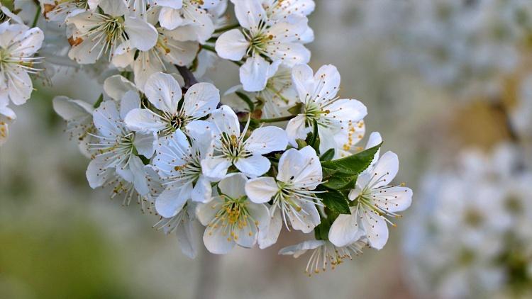 Virágzó gyümölcsfa